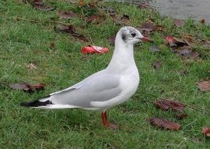 OcellsMalta. La gavina riallera (<i>Larus ridibundus</i>) és més comuna a l'hivern. Foto: Wikipedia