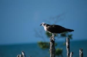 OcellsMalta. L'àguila pescadora (<i>Pandion haliaetus</i>) s'ha extingit a Catalunya però nidifica a