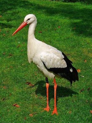 OcellsMalta. La cigonya (<i>Ciconia ciconia</i>) té un nom molt similar en diverses llengües romàniq